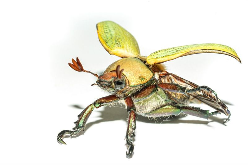Close-up of insect on white background