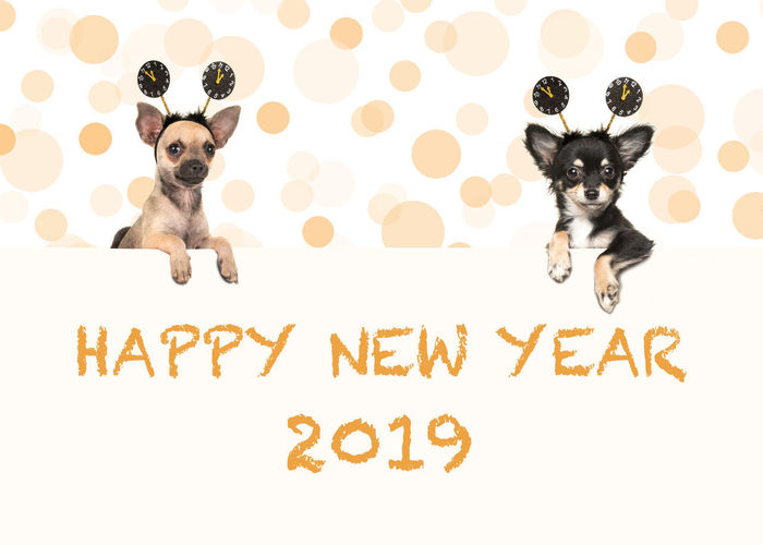 Cute french bulldog lying on the floor with paws spread wide facing the camera isolated on a white background 2019 Animal Chihuahua Chihuahua Dog Dog Happy New Year New Year Celebration Pet White Background Wishing Cards