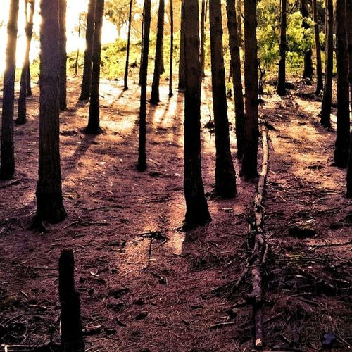 Pine Fields Forestreserve Nature My Mother My Soil Life Love