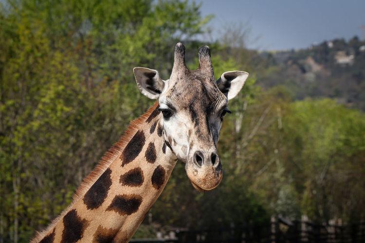 Close-up portrait of a giraffe