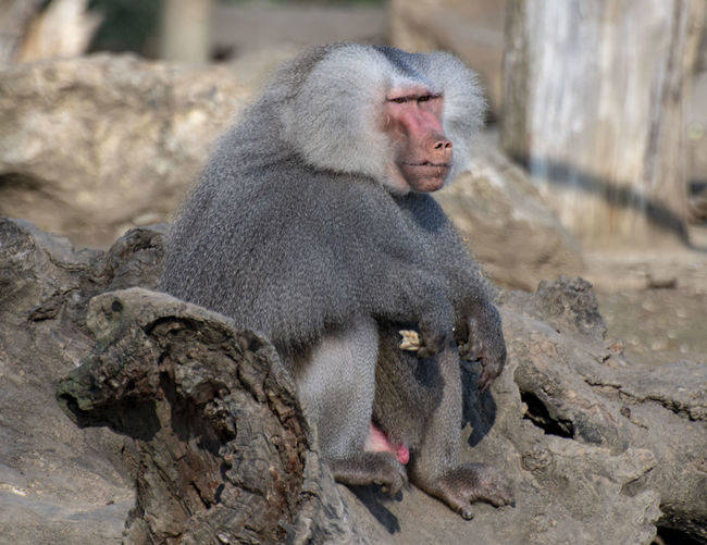 Primate Monkey Animal Themes Animal Mammal Animals In The Wild Animal Wildlife One Animal Rock Baboon Vertebrate Solid No People Rock - Object Focus On Foreground Day Zoo Sitting Outdoors Nature Animal Head