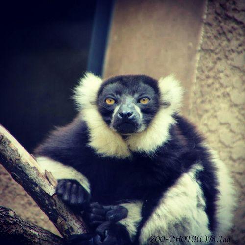 ZOO-PHOTO Zoo Animals  上野動物園 シロクロエリマキキツネザル 遠い眼をして何を考えてるの?