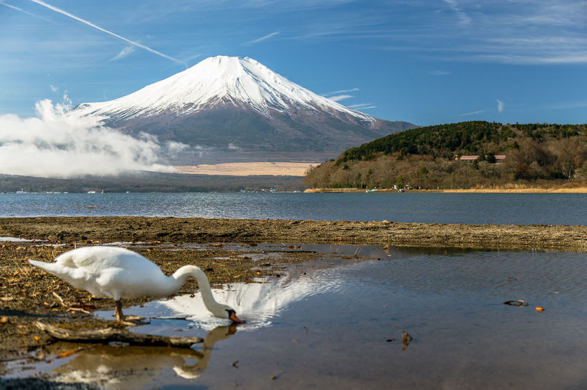 Mount Fuji and swan at LakeYamanakako,Yamanashi Japan(Winter Season). ASIA Beautiful Cloud Japan Japan Photography Mount FuJi  Reflection World Heritage Yamanashi Animal Bird Drink Drinking Fuji Fujiyama Lake Lake Yamanaka Mountain Sky Snowcapped Mountain Swan Vapor Trail Water White Color