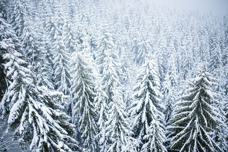 Snow Covered Trees At Forest