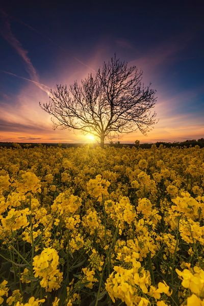 Rapeseed Glow Sun_collection Sunset_collection Yellow Northamptonshire Tree_collection  TreePorn Lone Tree Sunset Fields Of Gold Fields And Sky Fieldscape Rapeseed Field Beauty In Nature Nature Sunset Scenics Tranquility Flower Yellow Tranquil Scene Landscape Bare Tree Rural Scene Field No People Outdoors Summer Exploratorium #FREIHEITBERLIN