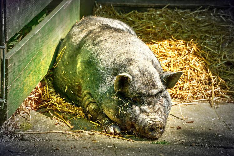 Animal Eber Nature No People Sau Schwein Tier