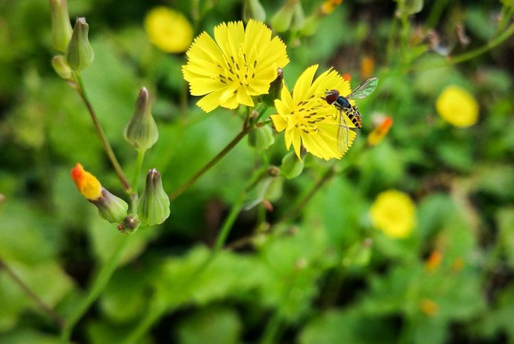 Insect Yellow Nature Flower Beauty In Nature Focus On Foreground Animals In The Wild Close-up Animal Wildlife Freshness Macro Photography Caribbean Life Puerto Rico Fly Polinization Plant Fragility Flower Head Backyard Photography By Chance