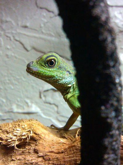 Lizard Love Mylizard Reptile Taking Photos Rex