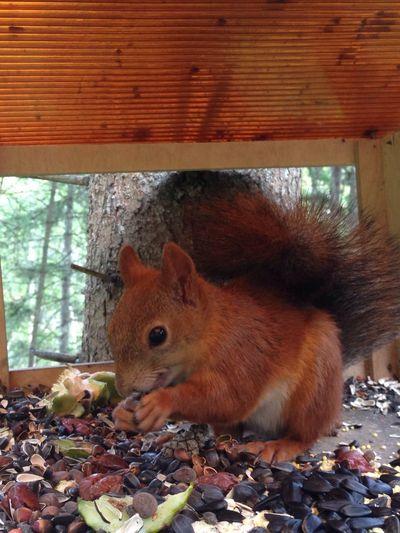 Squirrel Animal Pretty