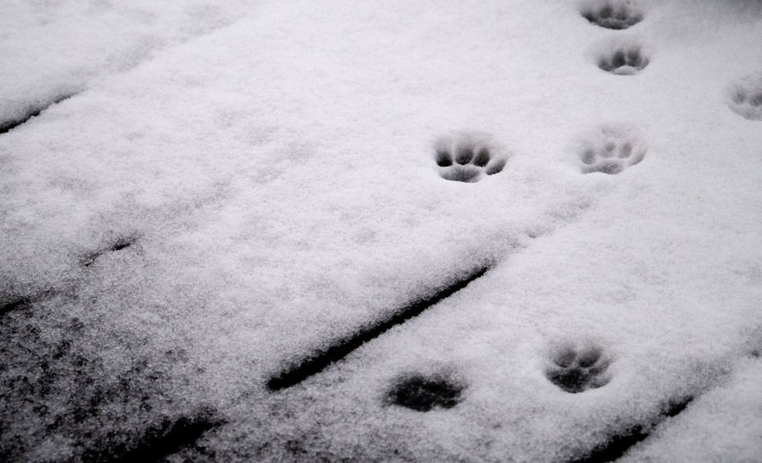 snow track of cats. Snow Winter Cold Temperature No People White Color Nature Covering High Angle View Day Animal Themes Animal One Animal Mammal Paw Print Frozen Land Backgrounds Outdoors Domestic Snowing Blizzard Track Cats