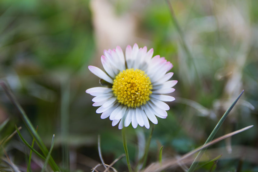Daisy Flower Beauty In Nature Bellis Perennis Close-up Daisy Daisy [Bellis Perennis] Day Flower Flower Head Flowering Plant Focus On Foreground Fragility Freshness Growth Inflorescence Nature No People Outdoors Petal Plant Pollen Vulnerability  White Color