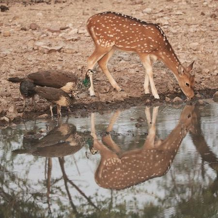One of the finest click on tour of Rajasthan Wildlife Explore Canonclub Canonclick Evening Reflection Deer Pecock चितळ Rajasthandiaries Photography Nature Canon760D Canonphotography Ranathambhore First_wildlife_photo @stories.of.india