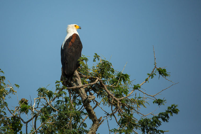 African fish eagle sitting on top of a tree African Fish Eagle Animal Themes Animal Wildlife Animals In The Wild Bird Bird Of Prey Branch Clear Sky Day Eagle Eagle - Bird Fish-eagle Low Angle View No People Outdoors Perching Sky Tree