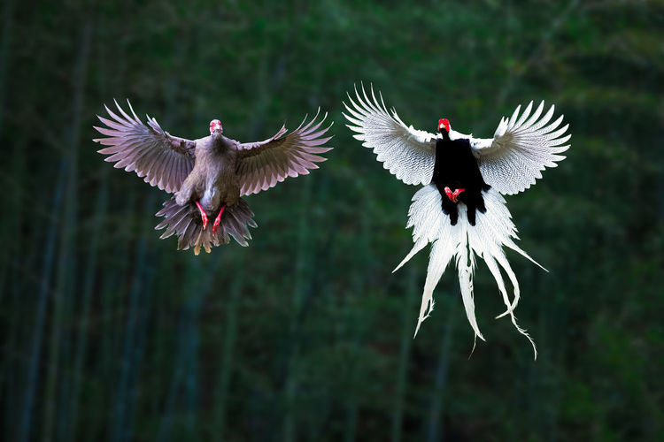 白鹇:雄雌双飞 Bird Spread Wings Flower Bird Of Prey Flying Butterfly - Insect Full Length Mid-air Motion Animal Wing