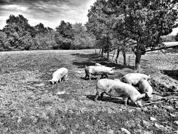 Blackandwhite Hdr_Collection Farm Animals Parco Del Curone