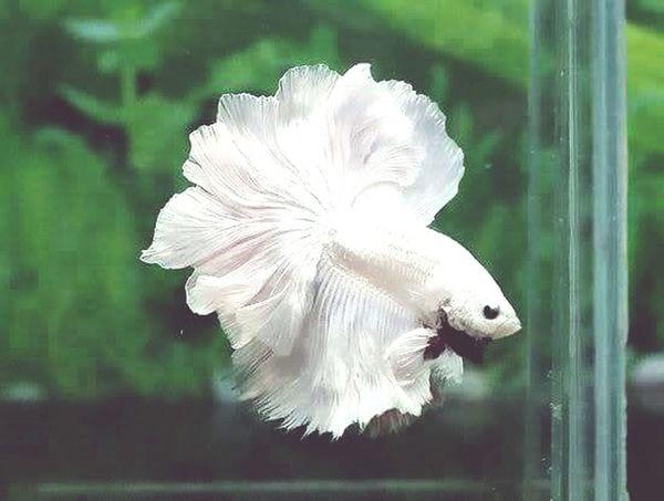 Fish Fightingfish White Fabulous ♥ Water H2o Beautiful Beauty