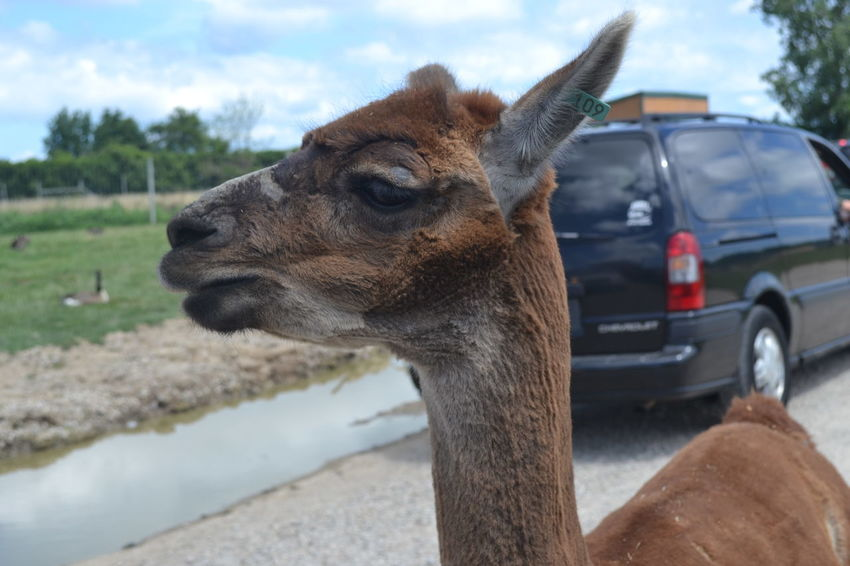 African Safari Wildlife Park Animal Head  Animal Themes Animal Wildlife Close-up Day Focus On Foreground Llama Mammal Nature No People Ohio One Animal Outdoors Sky