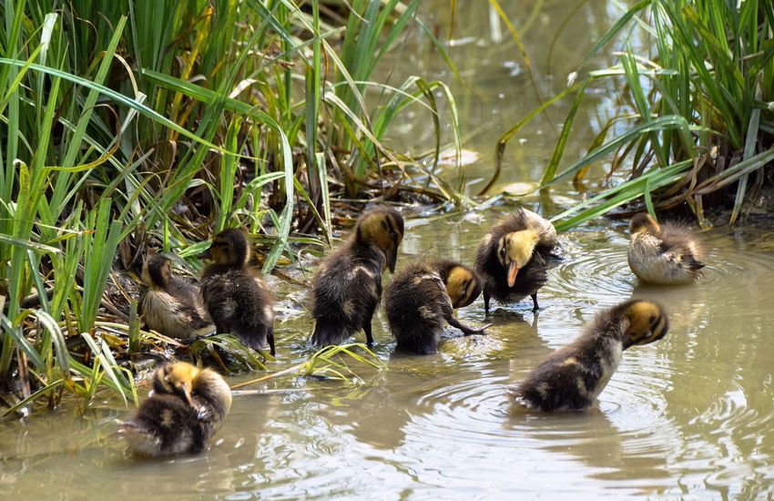 Animal Family Animal Themes Beauty In Nature Canada Goose Day Duck Duckling Goose Lake Lakeshore Mallard Duck Medium Group Of Animals Nature No People Outdoors Reflection Rippled Water Water Bird Wildlife Young Animal Young Bird