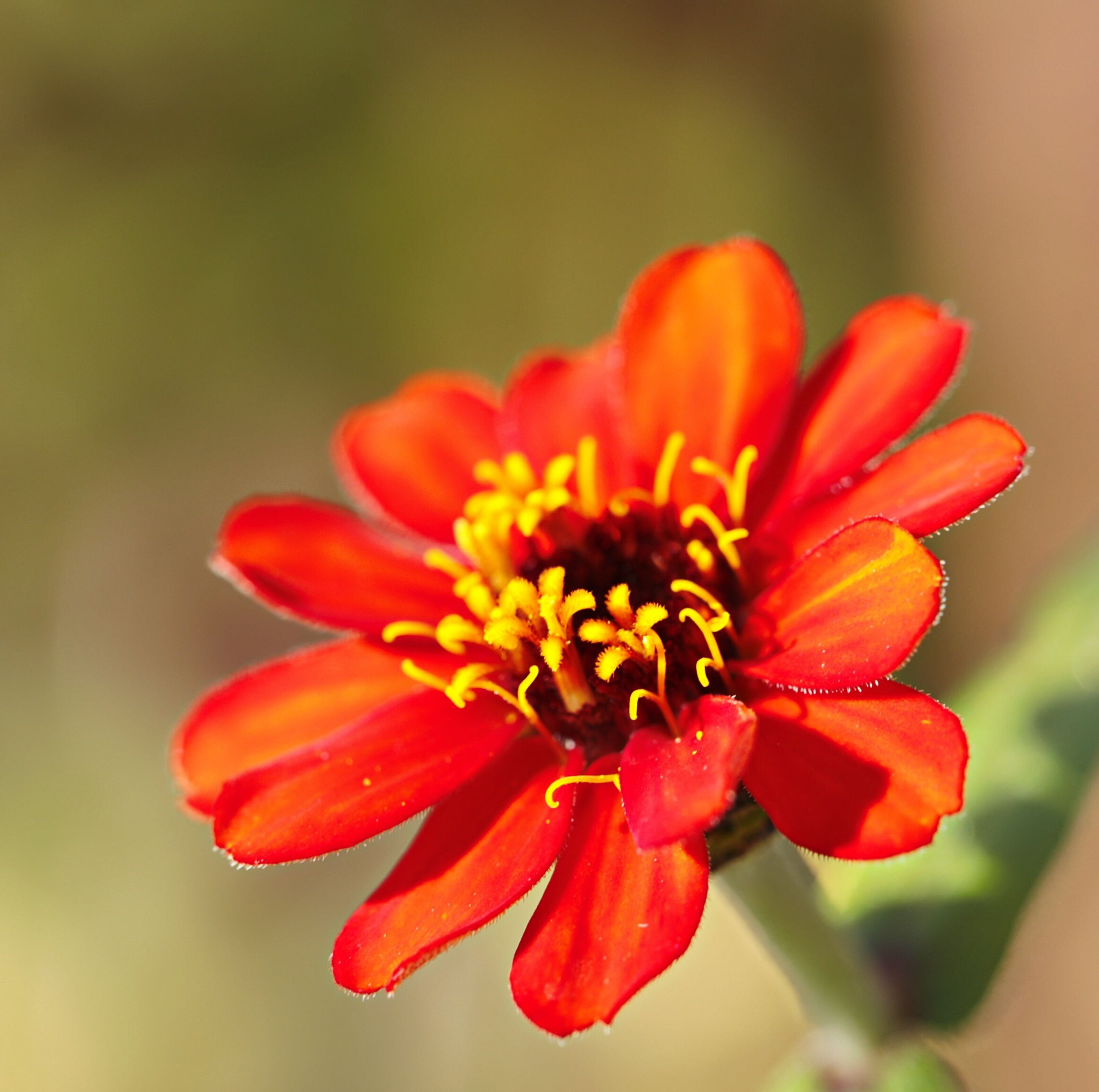 flower, petal, beauty in nature, flower head, nature, freshness, growth, fragility, plant, red, focus on foreground, blooming, pollen, close-up, zinnia, outdoors, no people, day