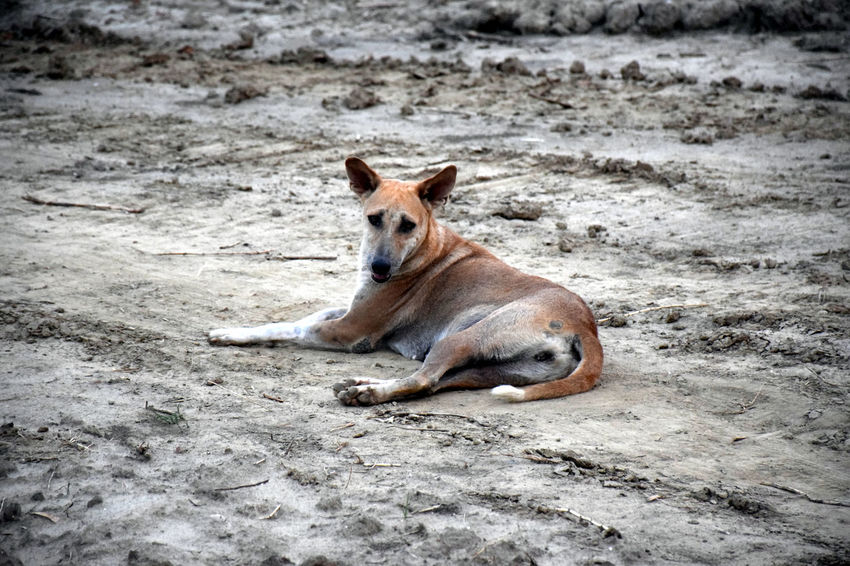 Animal Dog India Mayapur Nature One Animal Portrait Sand