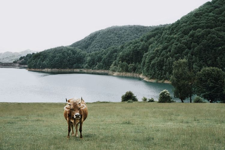Cow on grass against lake and sky
