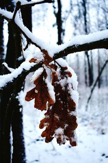 Snowy leaf Leaf