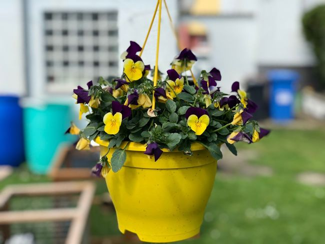 Flowering Plant Flower Yellow Close-up Focus On Foreground Plant Freshness Beauty In Nature No People Fragility Vulnerability  Nature Day Flower Head Inflorescence Outdoors Growth Potted Plant Table Decoration