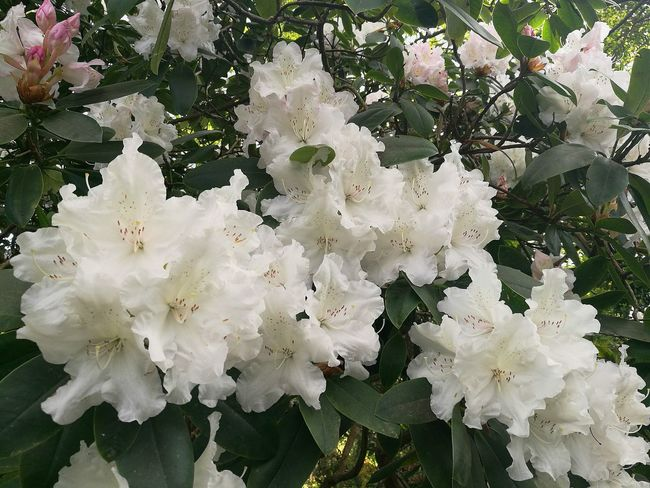 Rhododendron White Rhododendron White Flower White Flowers Flowers Flowers,Plants & Garden Flowers, Nature And Beauty Flower Photography Outdoor Photography Smartphone Photography P9 Springtime Plant Freshness Blossom Outdoors Nature White Color Day Flower Head Branch Petal Spring Photography Spring Flowers Nature Photography