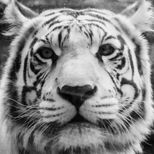 Animal Markings Animal Themes Animal Wildlife Animals In The Wild Close-up Day Looking At Camera Mammal Nature No People One Animal Outdoors Portrait Safari Animals Striped Tiger Whisker White Tiger