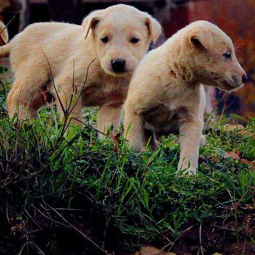 Yenilesi Köpek Yavruları