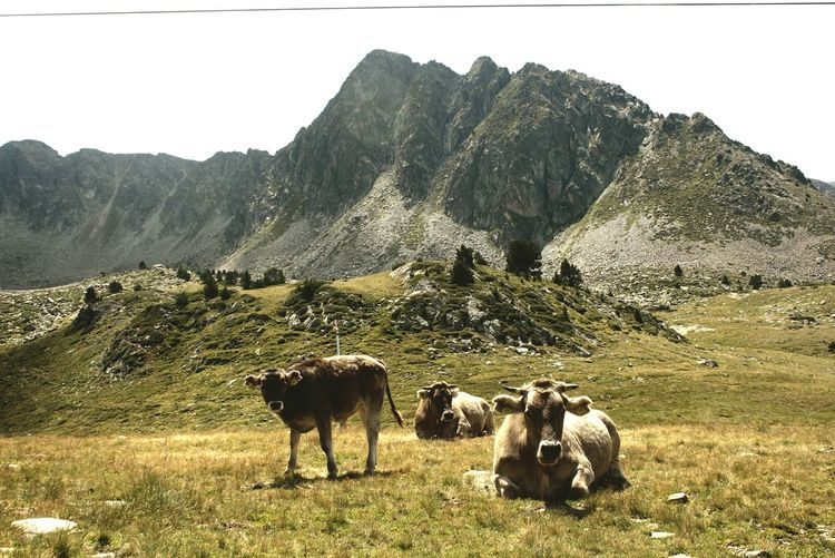 Cows On Grassy Field With Mountains In Background