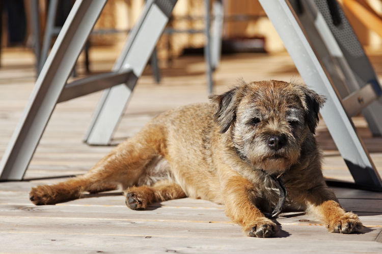 A small dog lying and lazing in the sun