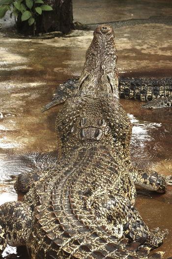 Mini Zoo Bintan Aligator Animal Themes Crocodile Day No People Reptile Water