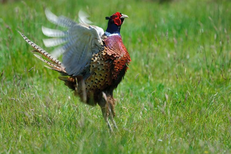 Pheasant On Field