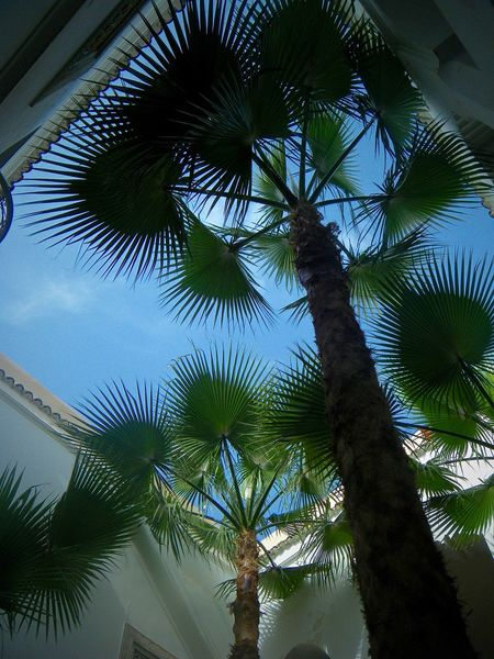 Blue Sky and Palm Leaves Low Angle View Marrakesh Morocco Palm Tree Beauty In Nature Beauty In Nature Day Growth Hotel Low Angle View Marrakech Nature No People Outdoors Palm Leaves Palm Tree Riad Sky Travel Destinations Tree Upshot
