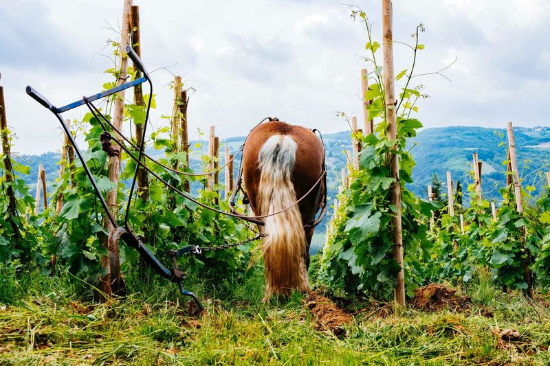 The worker No People Vine Vineyard Cote Du Rhone Syrah Labour Agriculture Wine Wineyard Horse Sky Plant Cloud - Sky Growth Nature Day Land