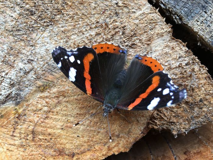 Red admiral Butterfly Butterfly - Insect Close-up Insect One Animal Pyrameis Atalanta Red Admiral Spread Wings Vanessa Atalanta