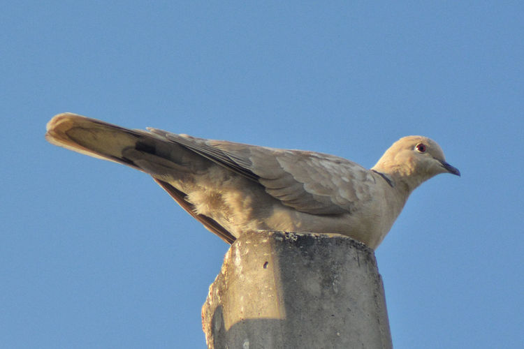 Animal Animal Themes Animal Wildlife Animals In The Wild Bird Blue Cement Post Clear Sky Day Low Angle View Nature No People One Animal Outdoors Perching Sky Sunlight Close-up