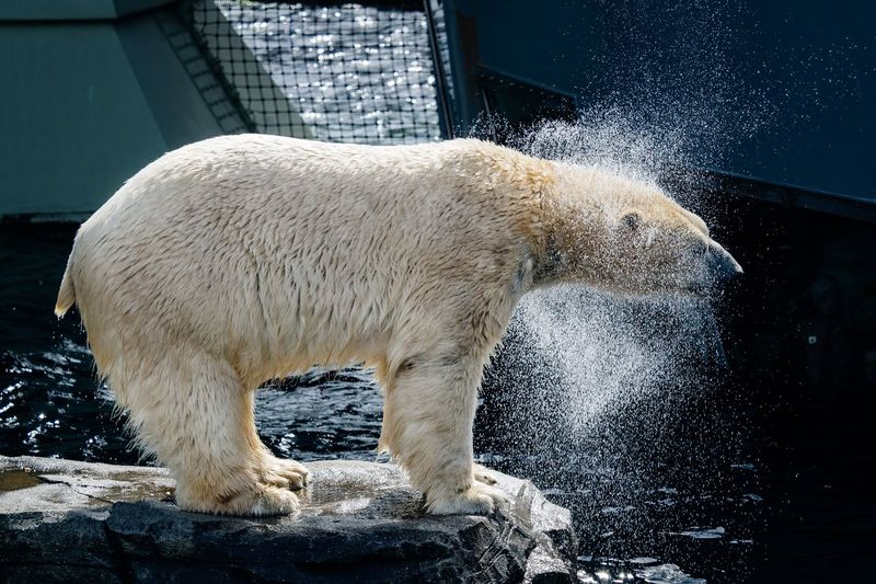 Polar bear standing on rock while shaking water from head at zoo
