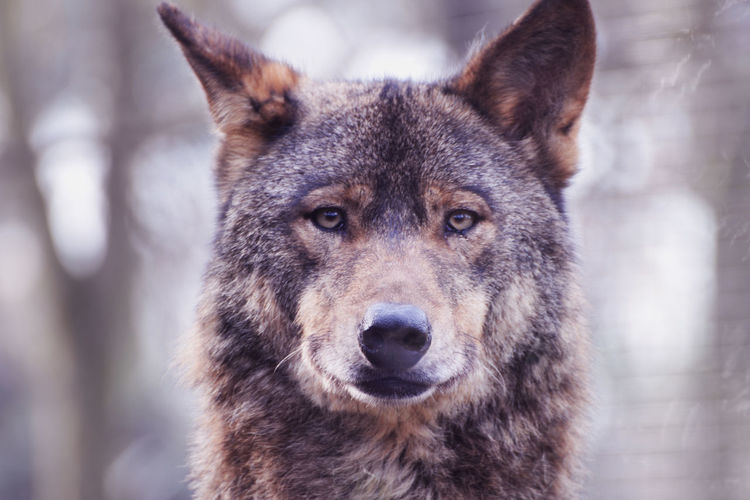 Animals In The Wild Dangerous Animals Wild Animal Animal Animal Eyes Animal Portrait Animallover Animallovers Animalphotography Animals Photography Close Up Close Up Photography Eyes Portrait WOlves Wild Wild Animal Photography Wild Animals Wildlife Wolf Wolf In The Wild Wolf Photography Wolf Portrait Wolflover