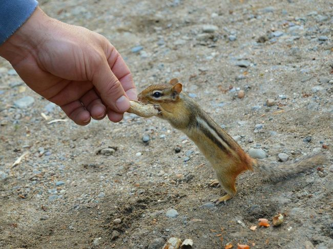 Chipmunk Nature Camping Hand Feeding Wildlife Wild Animal Outdoors Cute Peanuts Fun New Hampshire New England
