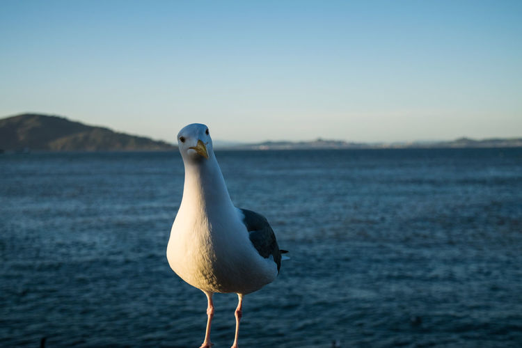 Close-up of seagull perching by sea against clear sky