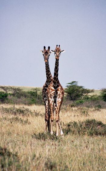Two giraffes staying together