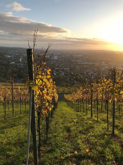 Weinberge Baden-Württemberg  Heilbronn Growth Nature Field Scenics Tranquility Sunset Beauty In Nature Sun Sky Landscape No People Outdoors Vineyard Sunlight
