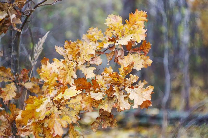 Oak tree dry