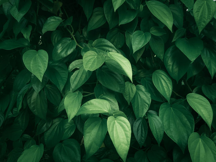 Full frame shot of green leaves on plant