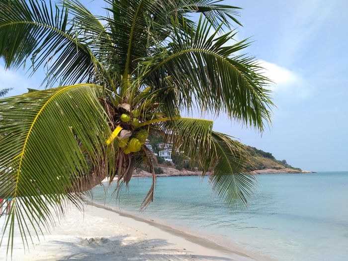 Thongson Bay, Ko Samui, Thailand Beach Tree Land Beauty In Nature Sky Sea Water Nature Tropical Climate Tranquility Tranquil Scene Sand Palm Tree Scenics - Nature Growth Green Color Day Plant No People Travel Destinations Archipelago Nature Landscape Sea View Cloud - Sky