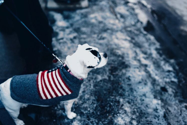 Nobannowall Protest Patriotism Patriotic Dog Winter
