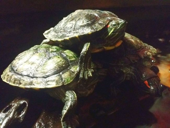 3 tortoises in a pond Tortoise Reptile Tortoise Shell No People Close-up Day Indoors  Reptile World Petstagram Pet Love Water The Week On EyeEm EyeEmNewHere Nature Photography Ninja Turtles Green Teamwork Climbing Helping Hand - in Kuala Lumpur Malaysia
