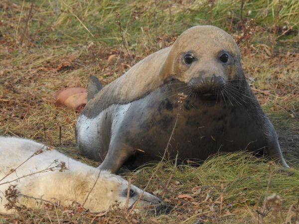 My Baby Seal Grey Seal And Pup Animals In The Wild One Animal Mammal Animal Wildlife No People Outdoors Nature Close-up Cute Donna Nook Beauty In Nature North Lincolnshire Coast Looking At Camera Perspectives On Nature